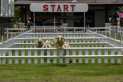 Sheep racing Royalty Free Stock Photography