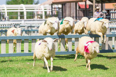 Sheep racing in farm. Sheep are jumping over the wall in the racing in farm stock image