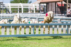 Sheep racing in farm. Sheep is jumping over the wall in racing,in sheep farm royalty free stock photo