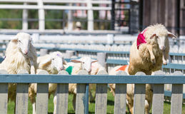 Sheep racing in farm. Sheep is jumping over the wall in racing, in sheep farm stock images