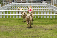 Sheep racing Royalty Free Stock Images