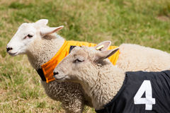 Sheep Racing Stock Photography