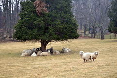 Sheep in the rain. Sheep take cover under a pine tree in the rain.  Lahaska, PA Royalty Free Stock Photos