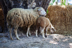 Sheep are raised on small farms Royalty Free Stock Photo