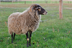Sheep - Ram. Portrait of the buck in farm Stock Images