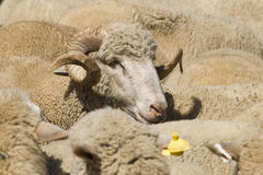 Sheep-ram Stock Photos