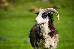 Sheep Ram Stock Images