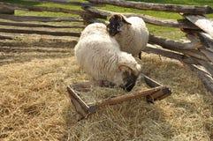 Sheep and ram royalty free stock photos