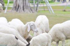 Sheep,ram or ewe. On the farm stock photography