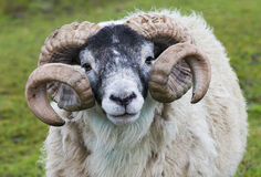 Sheep Ram Horn Stock Images
