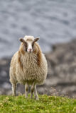 Sheep ram in iceland Royalty Free Stock Image