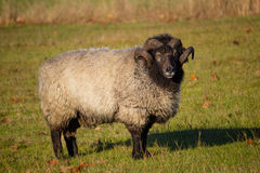 Sheep Ram Standin in Field Royalty Free Stock Image