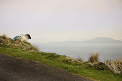 Sheep and rams of Achill Island Royalty Free Stock Photography