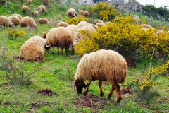 Sheep and rams Royalty Free Stock Image