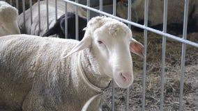 Sheep Rams lie in a stall. Livestock animal husbandry,. Animal breeding stock raising stock video footage