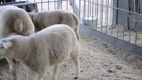 Sheep Rams standing in a stall. Livestock animal husbandry,. Animal breeding stock raising stock video