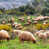 Sheep and rams Royalty Free Stock Photos