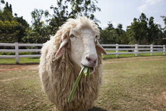 Sheep in ranch farm eating green grass leaves Stock Photos