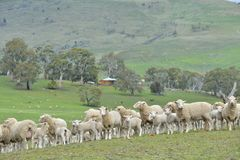 Sheep in Ranch. Ranch sheep farming in Australia stock images
