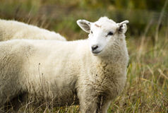 Sheep Ranch Livestock Farm Animal Grazing Domestic Mammal Stock Photos