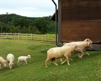 Sheep ranches. Flock of sheep being herded back into the flod Royalty Free Stock Photo