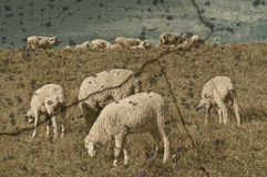 Sheep on a range Royalty Free Stock Photo