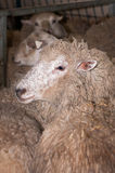 Sheep Ready for Shearing Stock Photos
