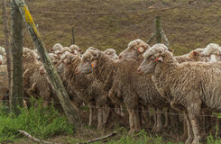 Sheep ready for shearing Royalty Free Stock Photo