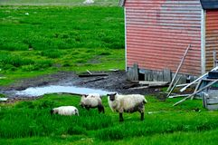 Sheep and Red Barn Stock Photography
