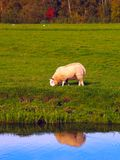 A sheep with reflection. A sheep next to the water showing his reflection Royalty Free Stock Images