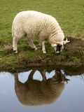 Sheep with reflection. Sheep on chanel bank Royalty Free Stock Image