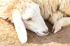 Sheep relax Stock Photos