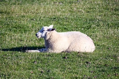 Sheep relaxing on dike Royalty Free Stock Photos