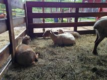 Sheep relaxing at a farm. Sheep laying down at a farm Stock Photography