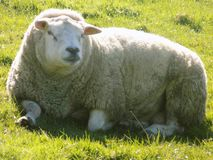Sheep relaxing, Northumberland UK. Lovely big sheep,  relaxing in Northumberland, England UK Stock Images
