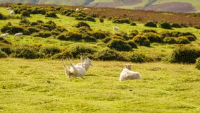 The rolling sheep. Wales, UK. Sheep relaxing and rolling around in the grass, seen in the Brecon Beacons National Park, Powys, Wales, UK Stock Image
