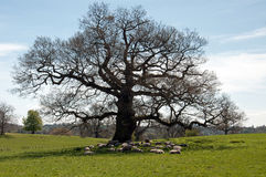 Sheep relaxing under the old oak tree. Stock Image