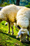 Sheep rest Stock Photo