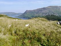 Sheep at rest on bank on mountain Stock Images