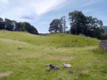Sheep at rest on a hill Stock Images