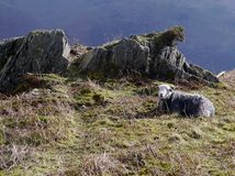 Sheep at rest on hill Stock Image