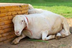 Sheep rest on sand in garden at thailand
