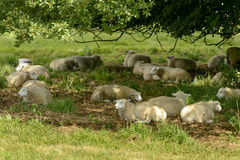 Sheep rest in shade at Abbey park , Lacock Royalty Free Stock Photo