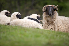 Sheep resting Stock Photo
