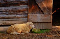 Sheep resting Stock Photo