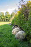 Sheep resting against fence. In field of green grass and nature Royalty Free Stock Photo