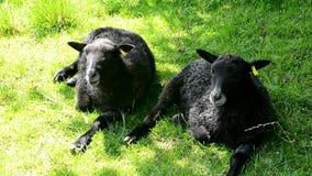 Sheep resting stock video
