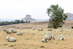 Sheep resting in the field stock photo