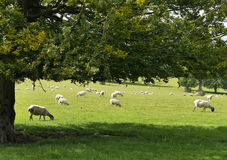 Sheep resting in field Royalty Free Stock Photo