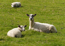 Sheep resting in field Royalty Free Stock Image